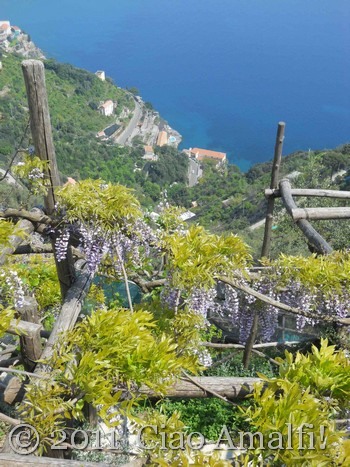 Wisteria in Ravello