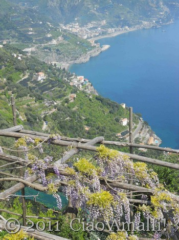 Wisteria blooming in Ravello