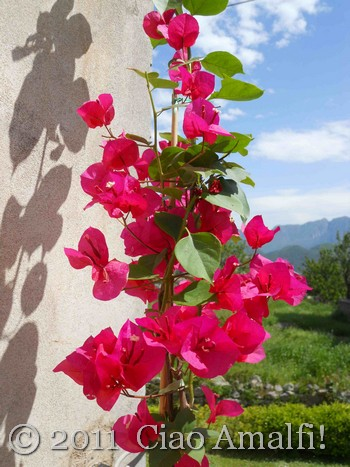 Bougainvillea from Positano