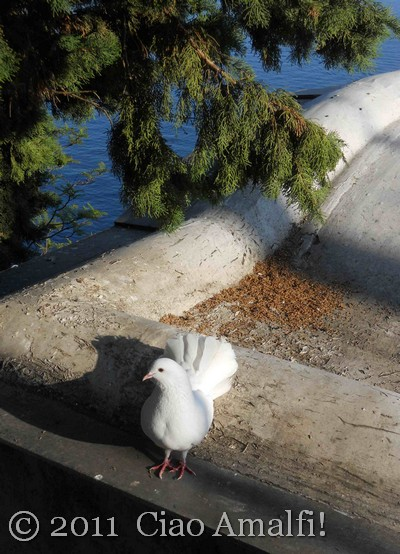 White Dove on the Amalfi Coast