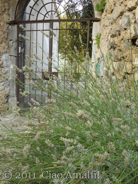 Harvesting Lavender on the Amalfi Coast