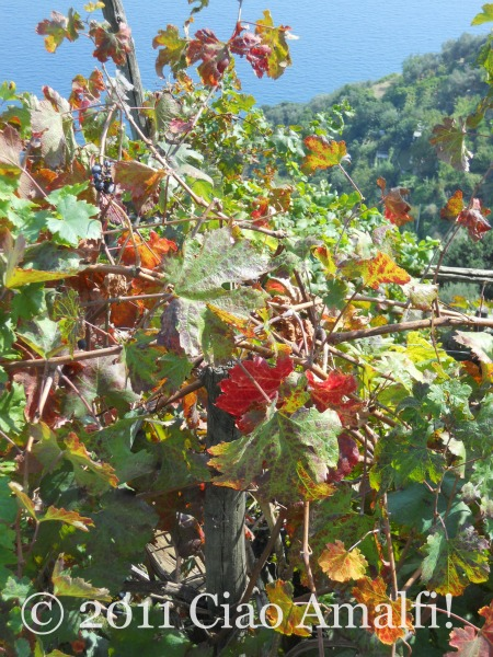 Autumn grape vines in Ravello
