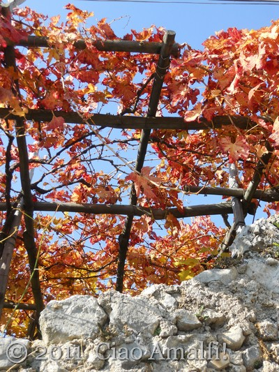 Autumn grape vines on the Amalfi Coast
