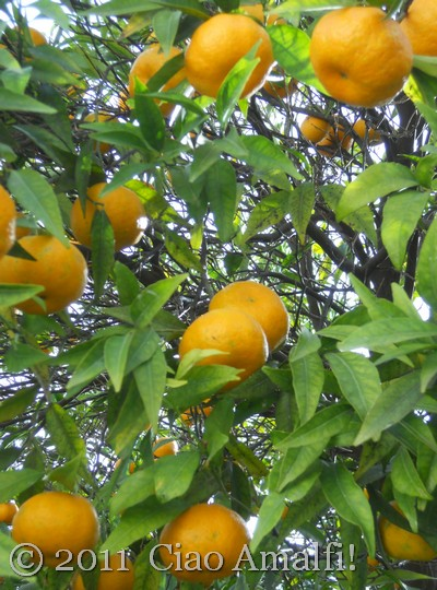Mandarins on the Amalfi Coast