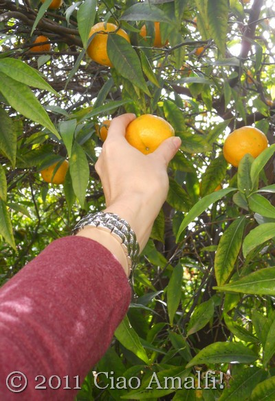 Picking mandarin oranges in Amalfi