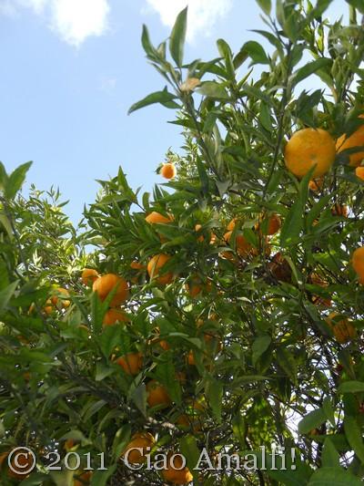 Harvesting Mandarin Oranges on the Amalfi Coast