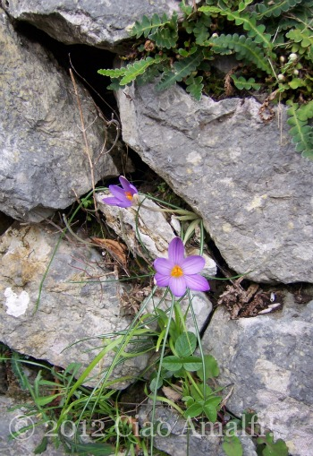 Spring crocus on a stone wall Amalfi Coast