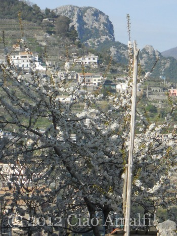 White Spring Blossoms on the Amalfi Coast