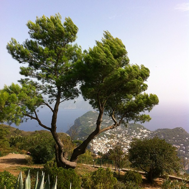 I wanted to take this tree and the wind blowing through it home with me. Monte Solaro, Anacapri. #Capri