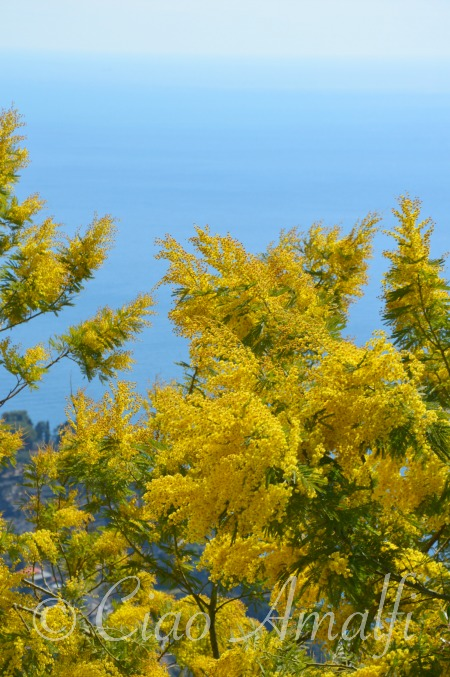 Amalfi Coast Mimosa Blossoms Blue Sea