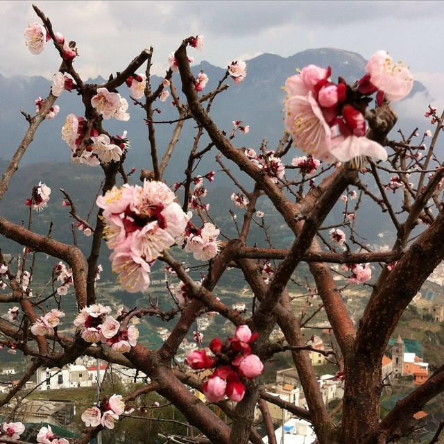 How sweet to see the first signs of spring on the Amalfi Coast! #ravello #amalficoast #primavera