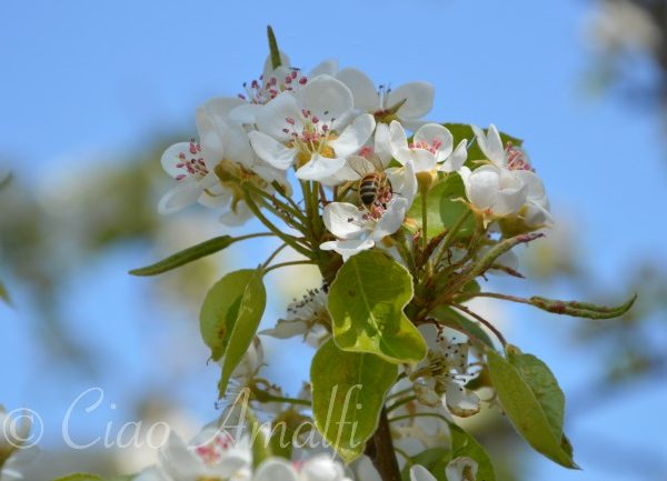 Amalfi Coast Travel Spring Blossoms Bees