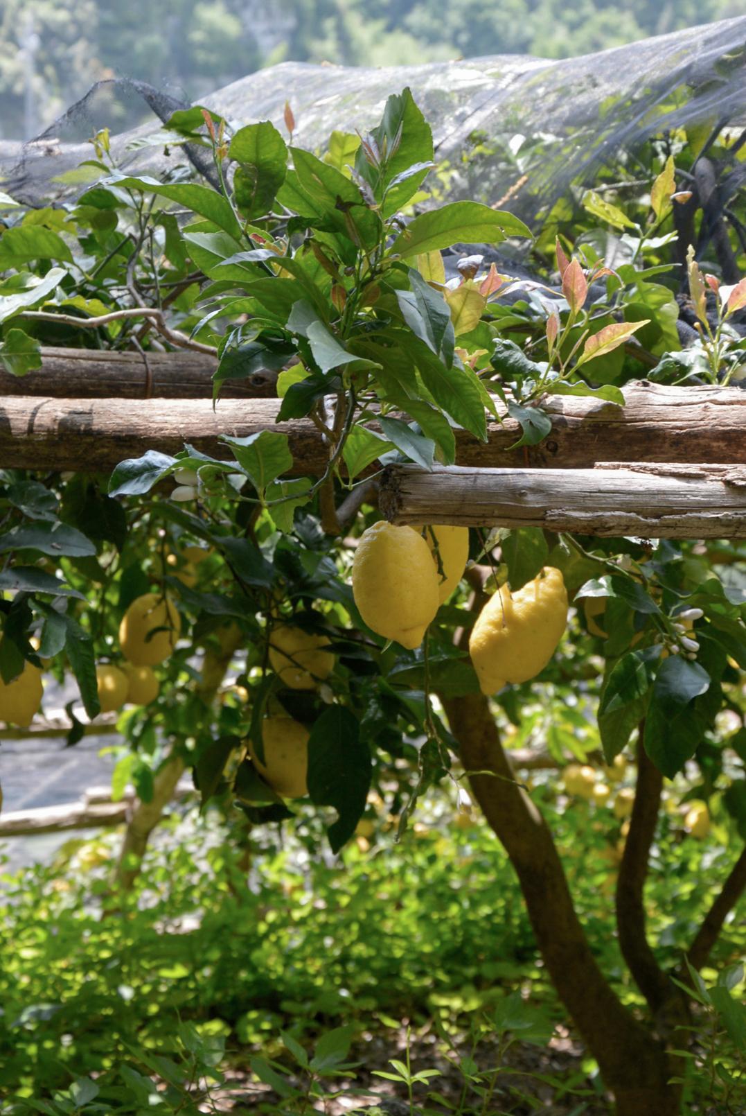 ciao-amalfi-lemons-2