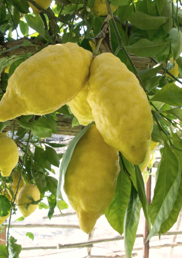 The Amalfi Lemon Experience