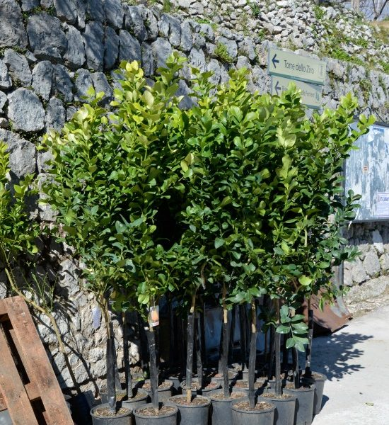 Amalfi Coast Travel Lemon Trees