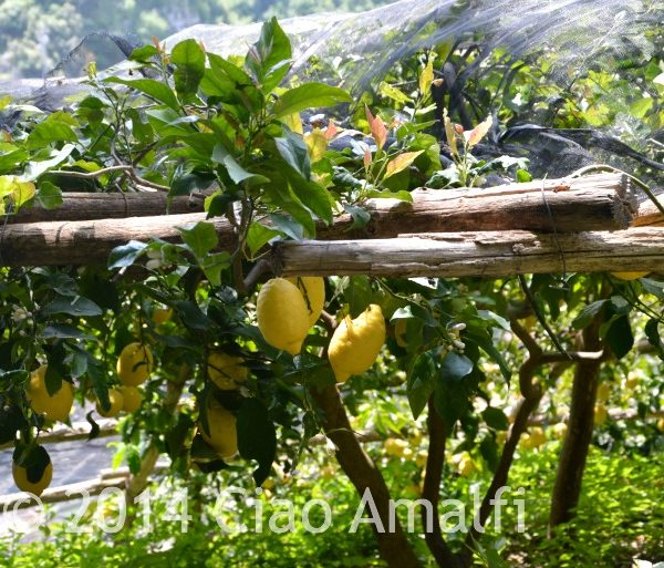 Amalfi Coast Travel Lemons